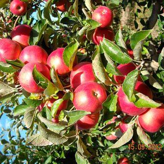 лучшую мире яблоня жар птица описание фото поскольку почти